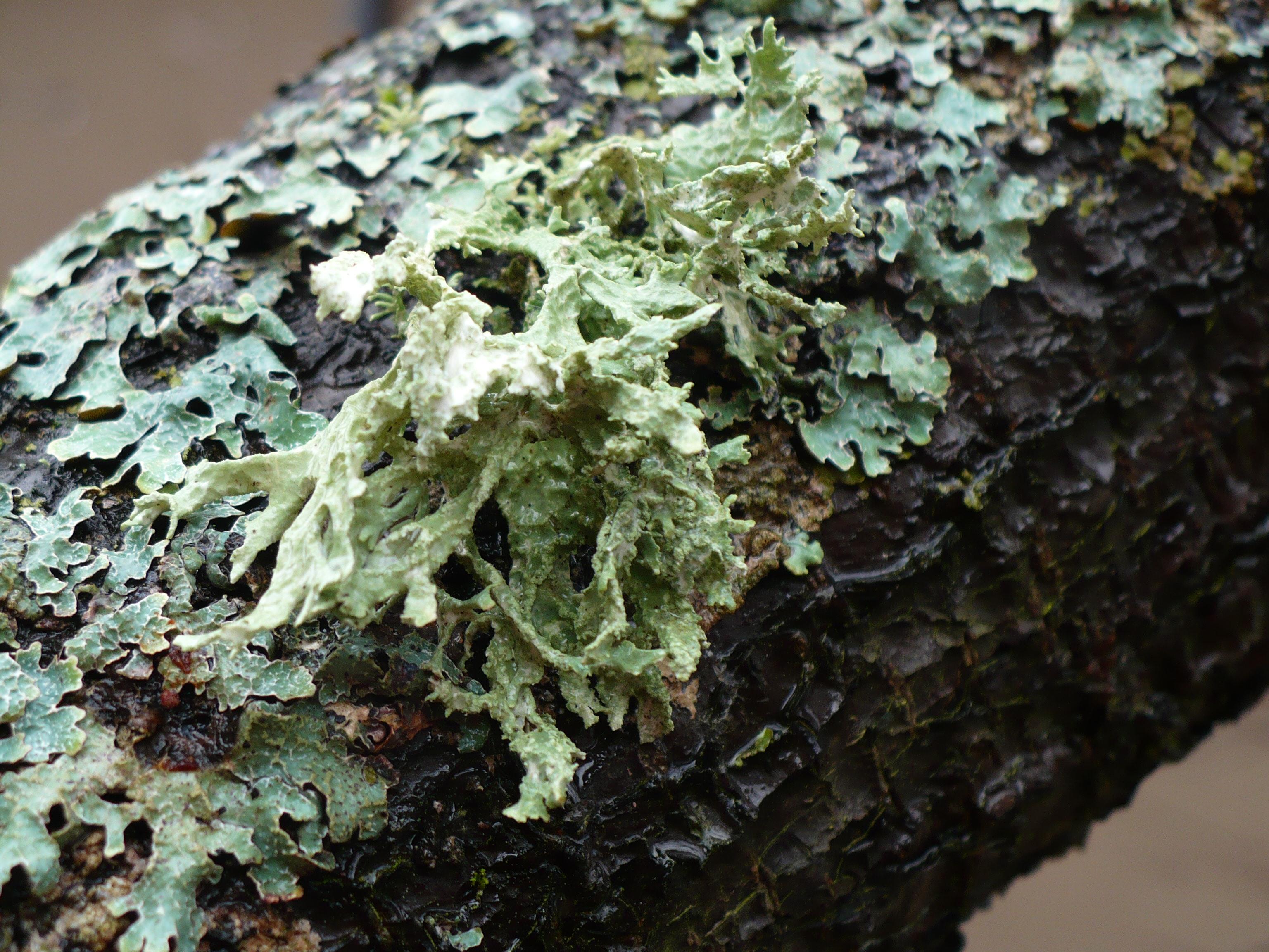 lichen  lichen
